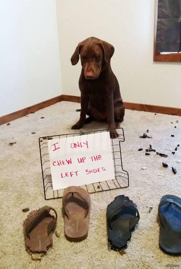 Я грызу только левые тапочки привередливый пёс