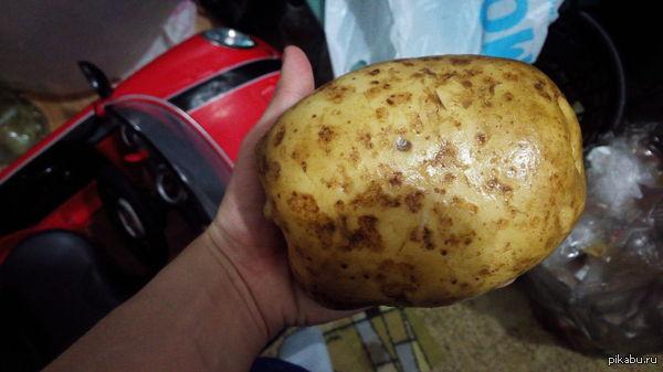 Царь картошка Решили пожарить картошку и наткнулись на этого монстра, извините за кривизну фоткал на таракана