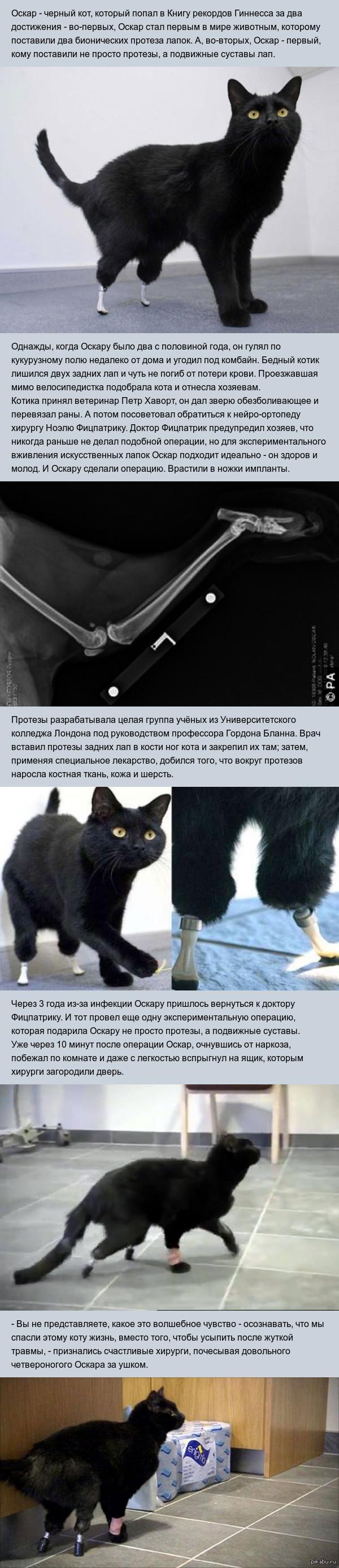 Бионический кот Оскар попал в Книгу рекордов Гиннесса дважды Новость довольно древняя, но вдруг кто-то не видел.  Ссылка на видео:  http://www.youtube.com/watch?v=-47dIdA2jTo