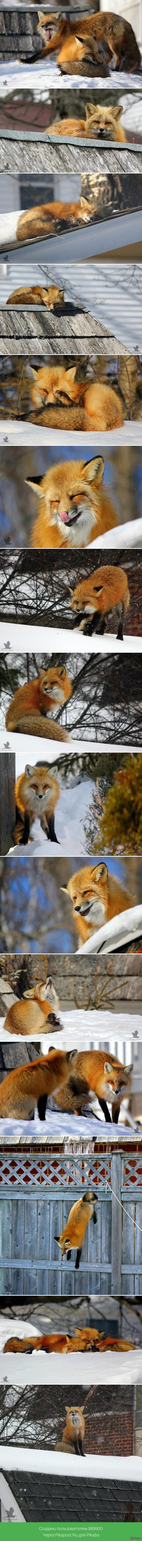 000 приметы лиса во дворе как