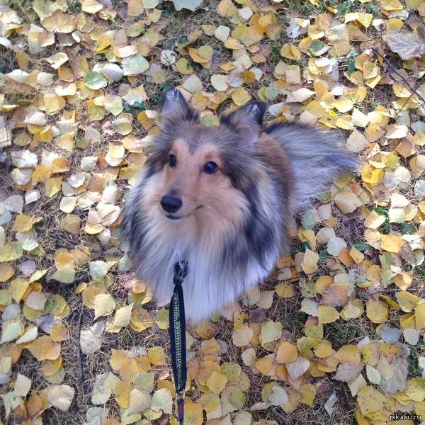 Моя собака Порода шелти