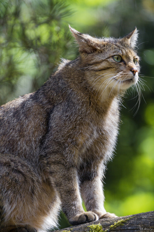Profile of a sitting wild cat by Tambako The Jaguar
