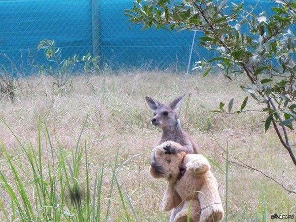 Маленький кенгуру и его друг)