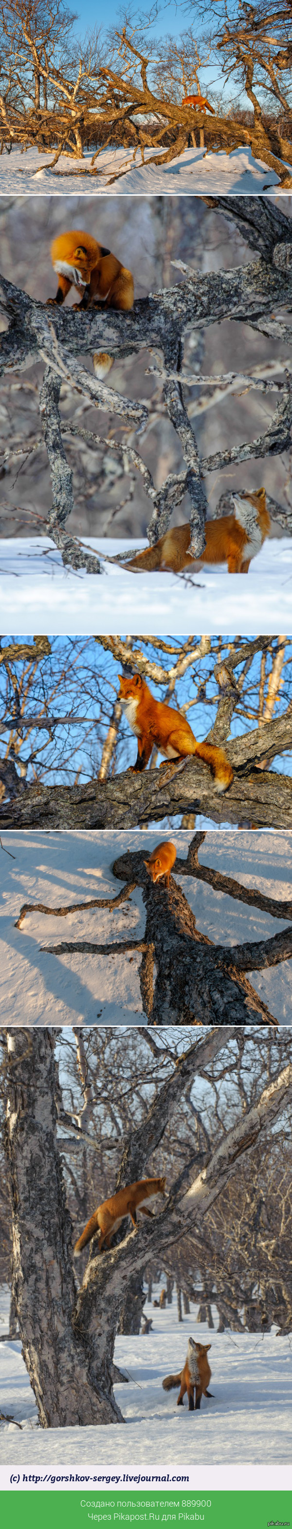 """И еще лисички на деревьях =) К этому посту продолжение: <a href=""""http://pikabu.ru/story/_3784118"""">http://pikabu.ru/story/_3784118</a>"""