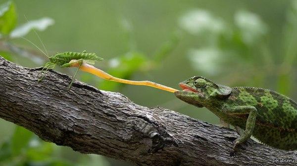 Редкий кадр дружбы и взаимовыручки в дикой природе хамелеон подстраховывает кузнечика, когда дует сильный ветер