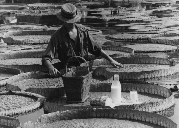 Завтрак садовника на ботанической выставке в Штутгарте. В качестве стола он использует лист гигантской кувшинки(Виктория-регия), 1964