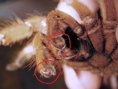 определение пола паука птицееда по пузу детское термобелье