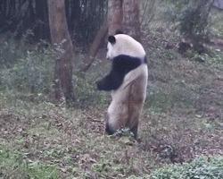 Панды, почему вы такие милые? Панда, Неуклюжие, Гифка, Животные
