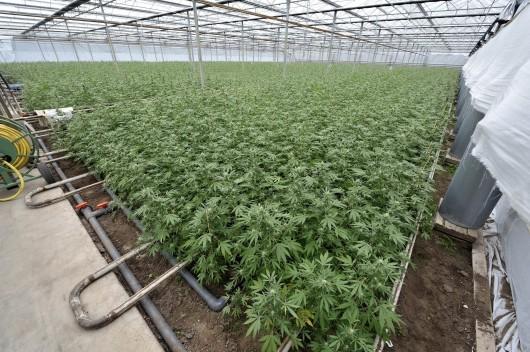Бирже марихуаны сбор конопля в ссср