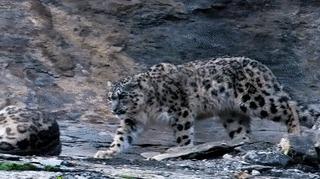 Нежное пробуждение Снежный леопард, Снежный барс, Снежный ирбис, Милота, Кот, Пробуждение, 9GAG, Гифка