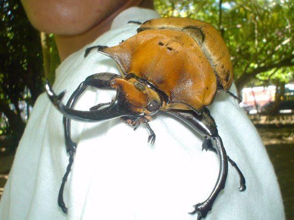 Самые большие насекомые Насекомые, Гигантизм, Длиннопост