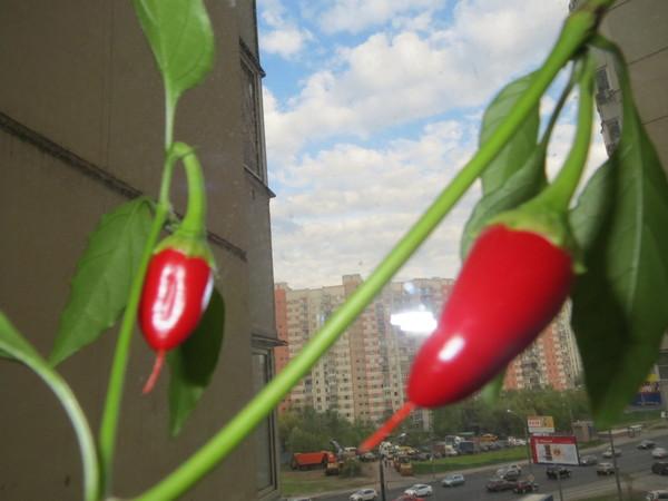 Выращиваем острый перец у себя дома. Перец, Кайенский перец, Перец чили, Острый, Выращивание дома, Садовод хренов, Длиннопост