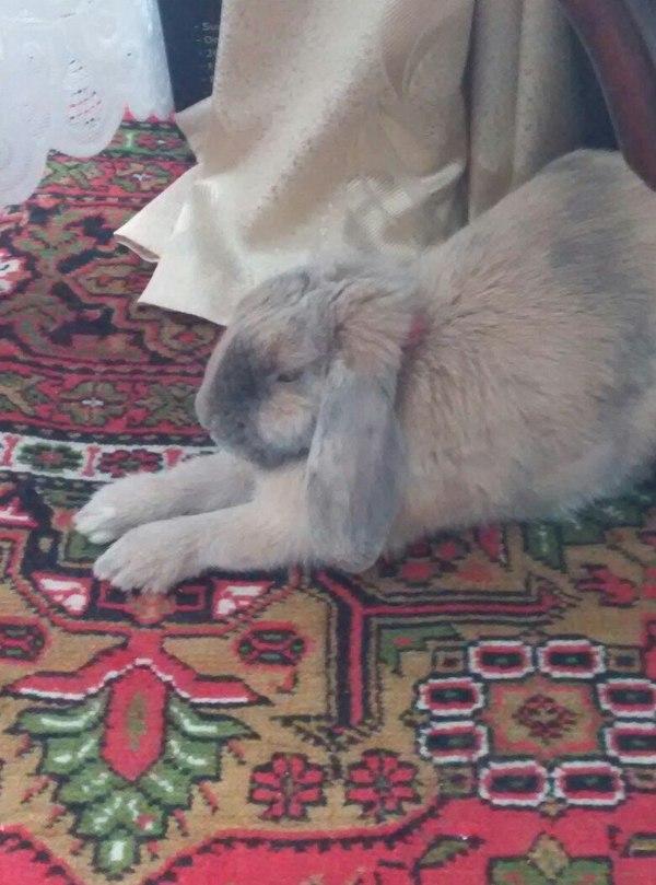 Сонности пост: Как спят зайки :3 BunnyKnight, Кролик, Кролики, Сон, Длиннопост