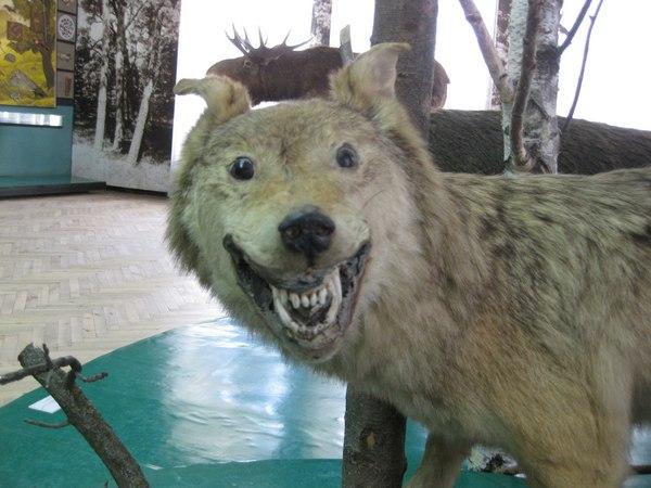 В музее тоже пятница Полтава, музей, упоротый ежик, Волк, чучело, таксидермия