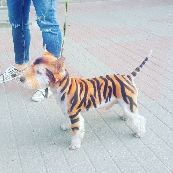 Видимо, хозяева хотели тигра, но смогли позволить себе завести только собаку Минск, Беларусь, Собака, Стрижка, Окраска, Тигр