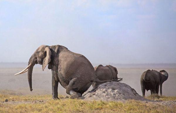 Находчивый слон избавляется от зуда Слоны, Кения, Длиннопост