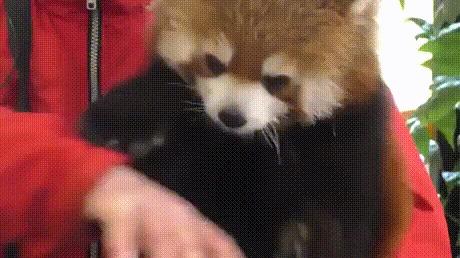Кормим красную панду