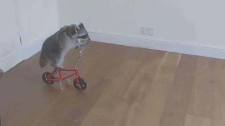 Енот на маленьком велосипеде