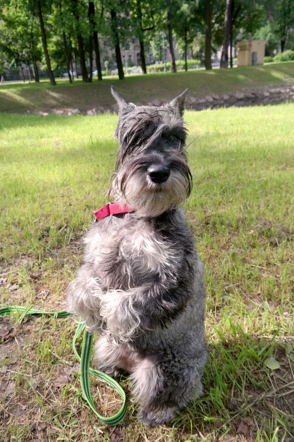 Привет от Йолки Собака, Миттельшнауцер