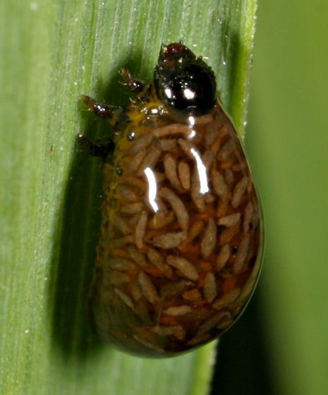 фото личинки осы