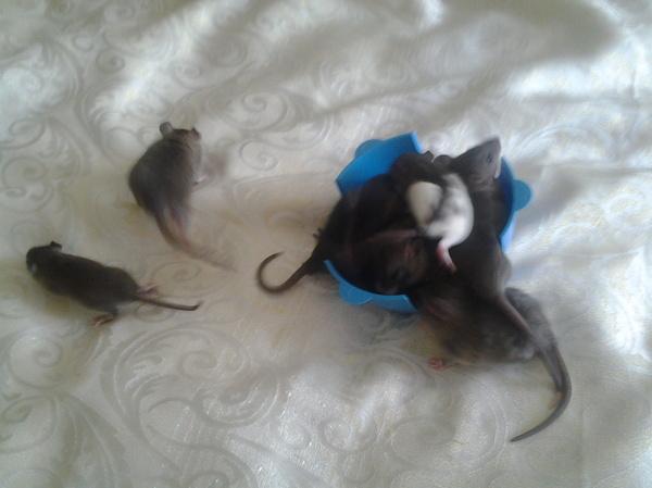 """Тот момент когда """"Давай купим крыску и вторую, чтобы скучно не было..."""" Крыса, Тот самый момент, Длиннопост"""