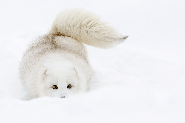 baby white fox