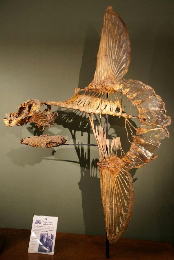 Скелет рыбы-луны