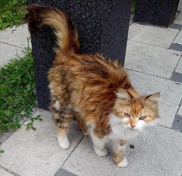 Кошка так хотела домой, что перешла через пол-Киева, с правого берега Днепра на левый Кошка-Путешественница, Киев, Троещина, Кот