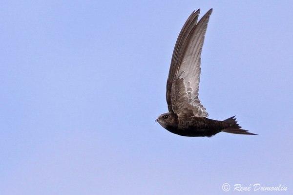 Наиболее распространенные городские птицы (часть 1) Птицы, Животные, Длиннопост, Стриж, Ласточка, Скворец, Трясогузка