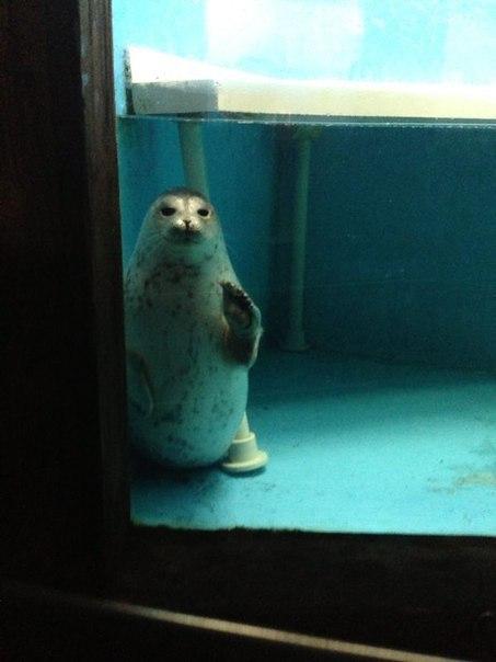 Просто прикоснись... прикоснись, морской котик, милота, картинки, длиннопост
