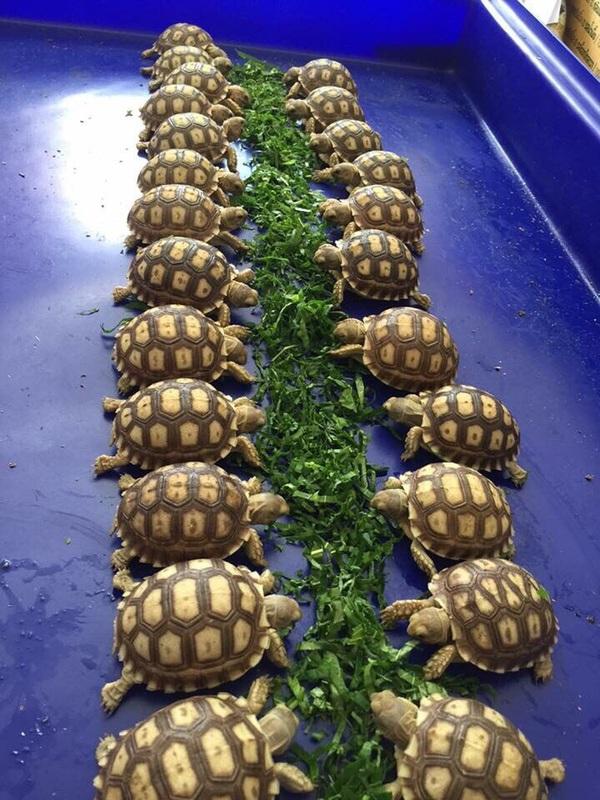 Кормление молодых шпороносных черепашек