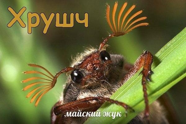 Фото Сонник жуки в волосах