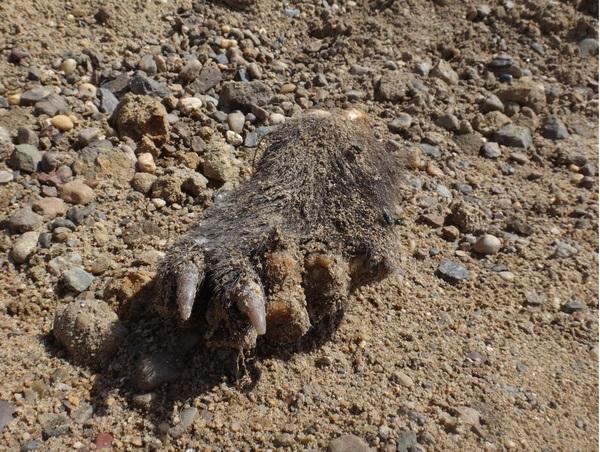 В центре Хабаровска найдена лапа медведя. Хабаровск, Медведь, Лапа, Браконьеры, Полиция, Убийство, Жесть, Видео, Длиннопост