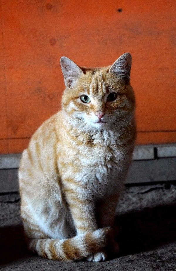 Дворовый кот)