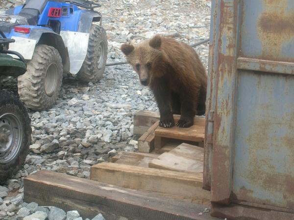 К нам сегодня приходил Медведь, Фото, Длиннопост, Магаданская область, Природа, Визит