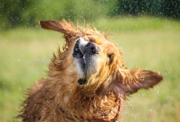 Опасно! Не пытайтесь повторить без длиннофокусного объектива Собака, Голден, Ретривер, Брызги, Длиннопост