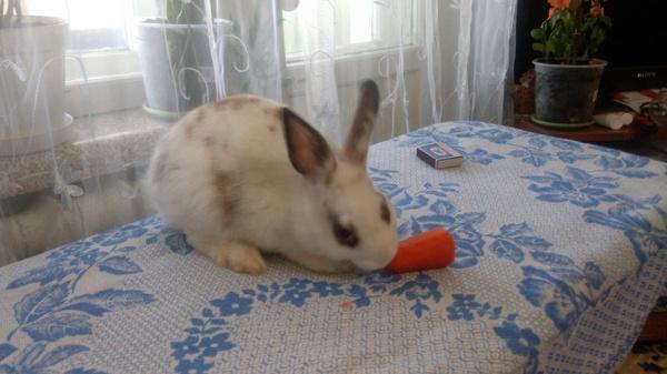 Кролики, в добрые руки Кролик, Краснодар, Усть-Лабинск, Даром, Подарок, В добрые руки, Длиннопост
