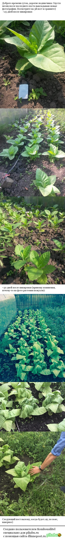 Выращиваем табак №5 Табак, Курение, Сигареты, Огород, Длиннопост