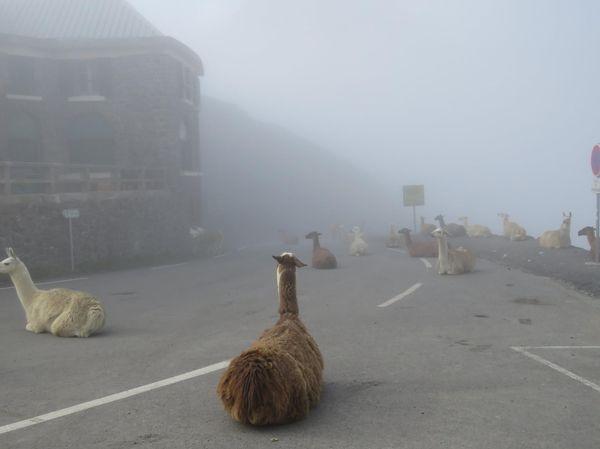 Ламы VS Тур де Франс Лама, Тур де Франс, Пиренеи, Франция