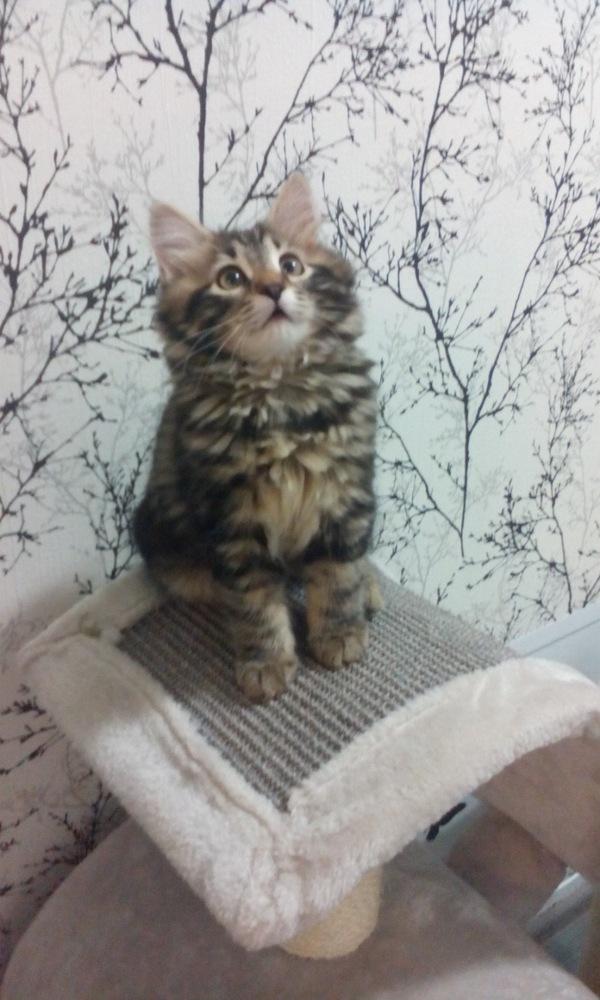 Знакомьтесь, Арчи! Кот, Милота, Арчи, Длиннопост, Видео