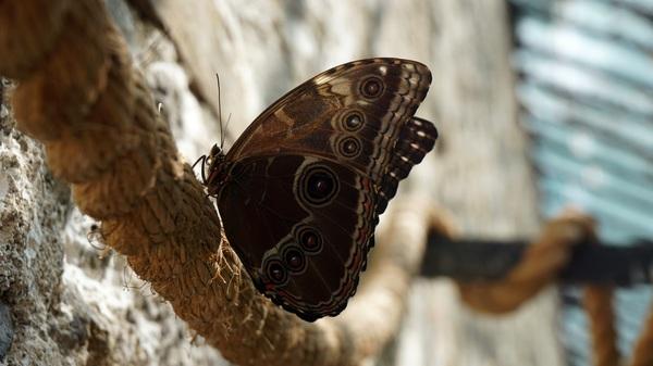 Бабочка Caligo memnon бабочка, caligo memnon, Sony ILCE-6000, Фото, Никитский ботанический сад