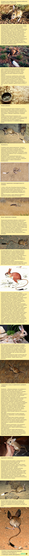 Немного информации о мини-кенгуру. Животные, длиннопост, тушканчик, грызуны, Интересное