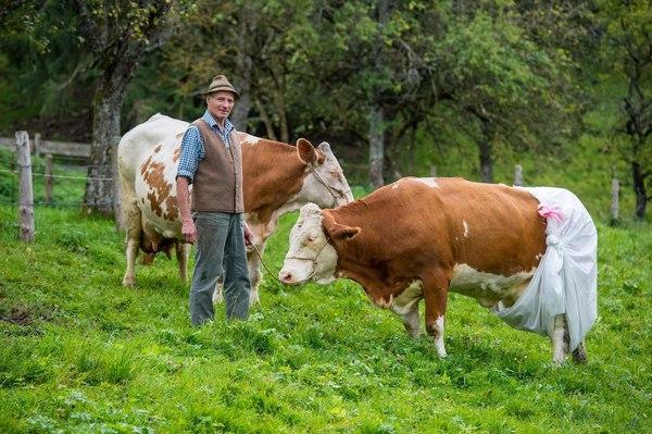 Подгузники для коровы Корова, Подгузник, ЭкоСфера, Германия, Прикол, Юмор, Длиннопост