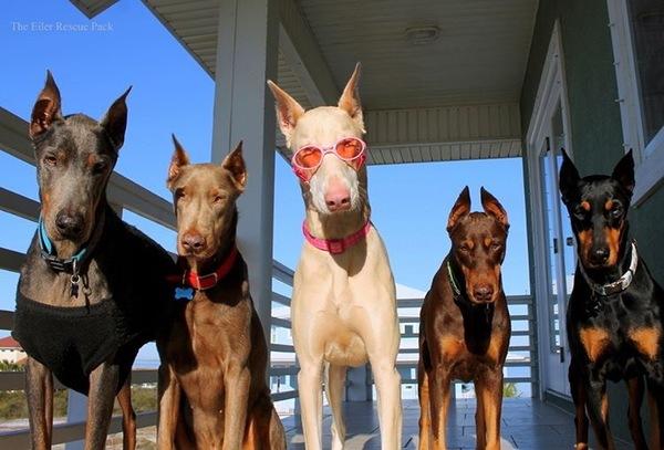 Большая семейка доберманов Доберман, лучшие друзья девушек, годный фотопост, собаки и люди, породистые собаки, красавцы, длиннопост