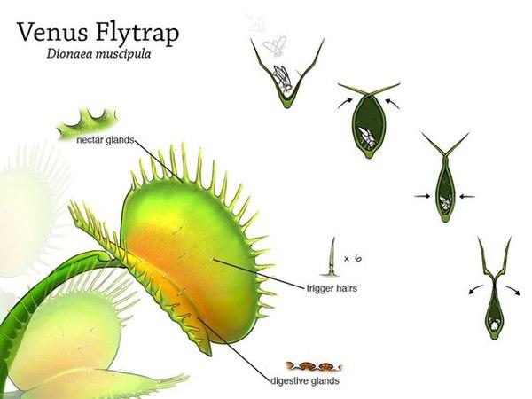 Мухоловка или venus flytrap в бутылке 1469199597111182454