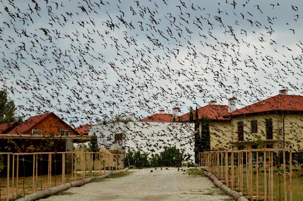 По мотивам Хичкока птицы, скворцы, стая, фотография, моё