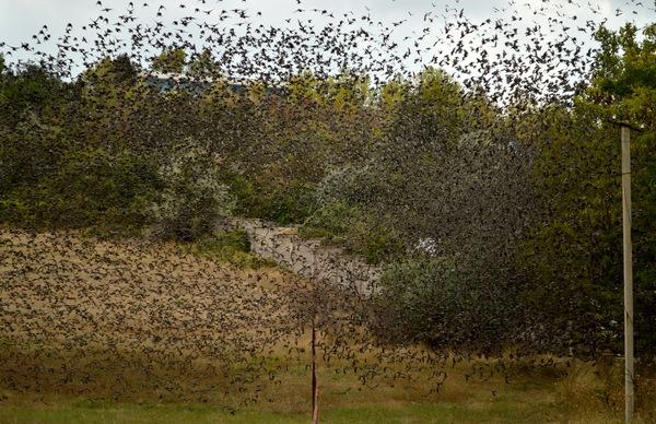 Еще немного скворцов вам в ленту птицы, скворцы, стая, фотография, моё, длиннопост