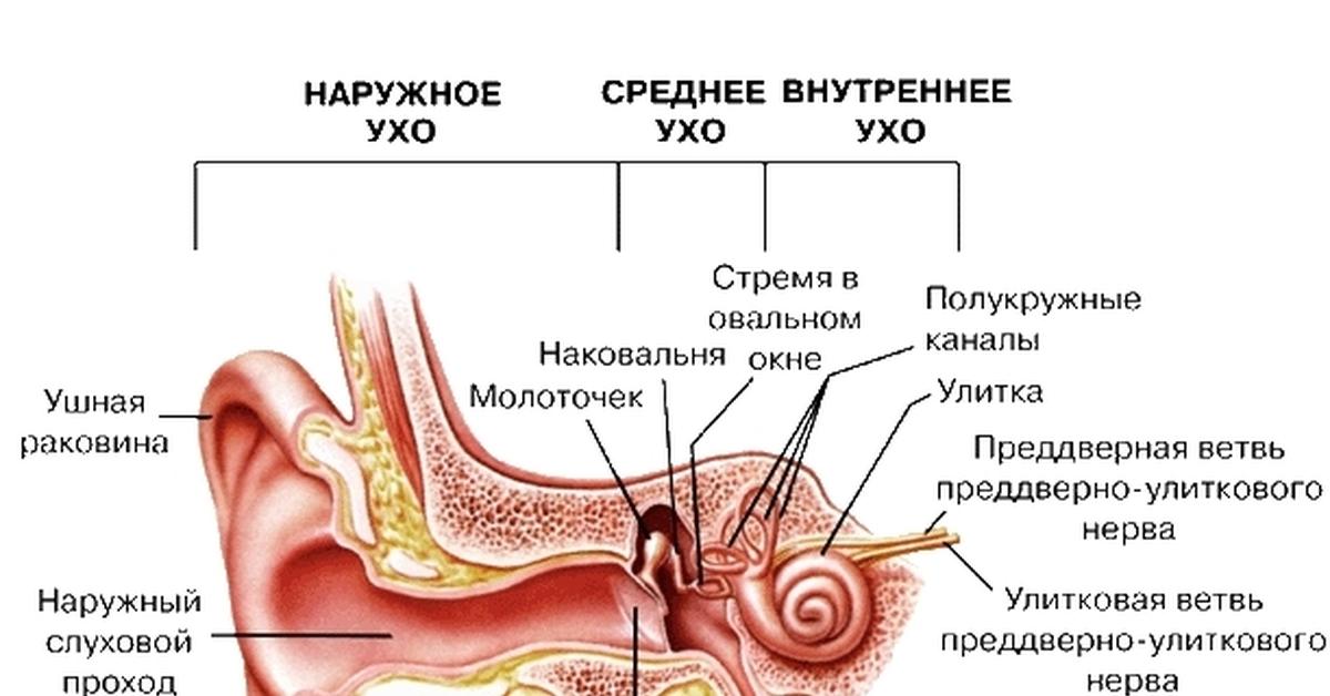 Шоколадный, строение человеческого уха в картинках