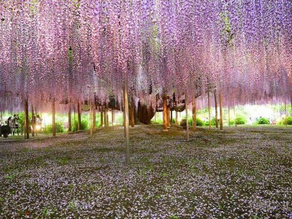 Япония, цветочный зонтик из глицинии Япония, Глициния, Длиннопост