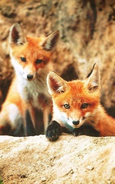 Лисички лисички, фыр-фыр, Фото, Животные, длиннопост
